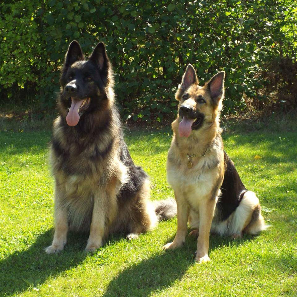 Two Dogs Sitting
